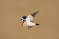 Snow Bunting - Plectrophenax nivalis - winter