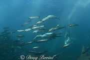 Cape gannets, Sula capensis, plunge into a baitball of sardines or pilchards, Sardinops sagax, Transkei, South Africa ( Indian Ocean )