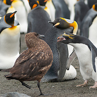 A nesting King Penguin and a wayward Macaroni Penguin warn away an Antarctic skua from their site in a rookery at Gold Harbor, South Georgia, Antarctica.