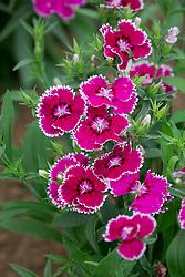 Dianthus barbatus 'Festival Violet Picotee' - Festival Series. Sweet William