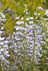 Wisteria floribunda 'Lavender Lace'