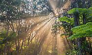 Sunbeams stream through tropical forest at sunrise, Hawaii Volcanoes National Park, Hawaii