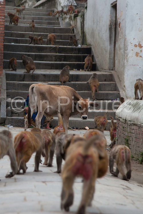Monkeys are returning to the forrest after having feasted on donated food in the temple all morning. A holy cow is watching as the monkies run past.  Along the Bagmati River next to the Pashupatinath Temple complex are ten alocated spaces for cremation and all day funerals are being held. The bodies are cremated according to custom and the ashes and remains are swept into the holy waters. The Bagmati runs into the Ganges further South and is considered equally holy to Hindus.