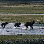 Alaskan Brown Bear, (Ursus middendorffi) Mother and two cubs walking along tidal flats. Alaskan Peninsula.