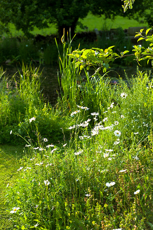 Oxeye Daisies, Leucanthemum vulgare, herbaceous perennials in country garden in the UK