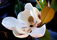 magnolia flowers  Columbia, South Carolina photo by Catherine Brown