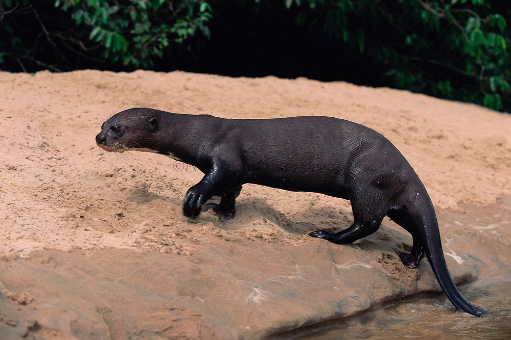 Giant Otter on beach<br />Pteronura brasiliensis<br />Rupununi Area, GUYANA. South America<br />RANGE; East of Andes from Colombia, Venequela, Guyana to N. Argentina