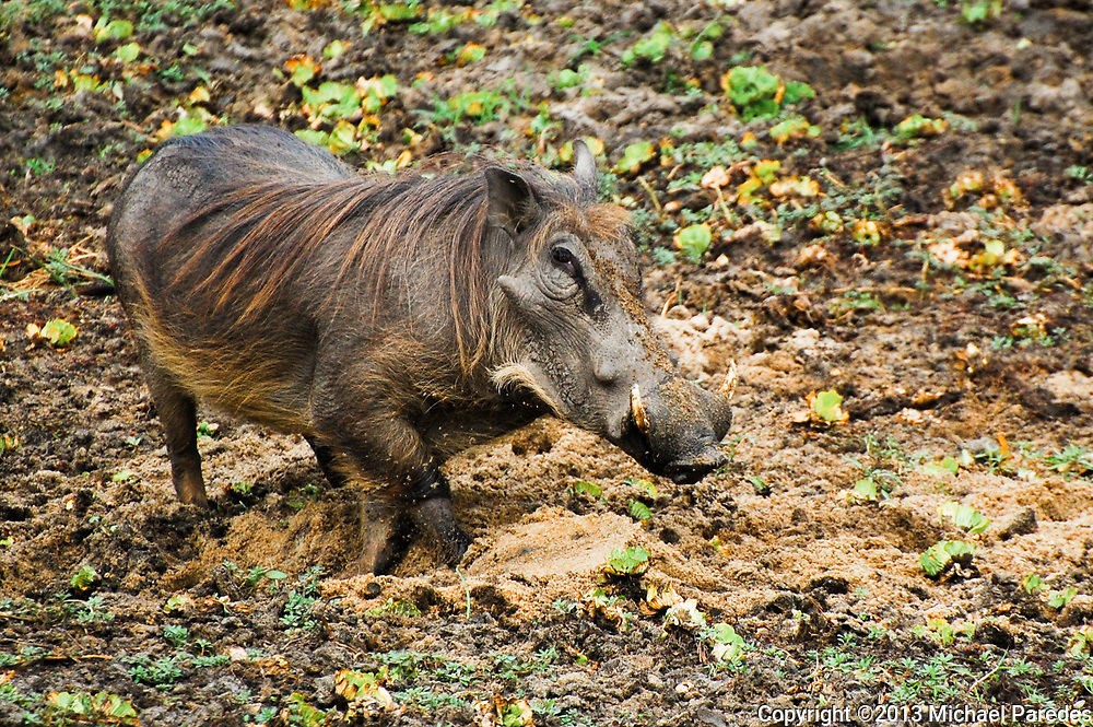 A warthog digs for edible roots at Gorongosa National Park, Mozambique