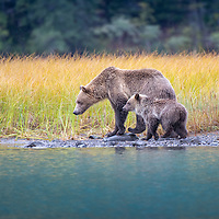 Grizzly Bar Sow standing beside her Cub-of-the-Year on the shorelinn of the Chilko River, British Columbia, Canada with tall golden grass in the background.