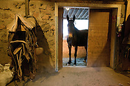Curious mule looking into the feed and tack room