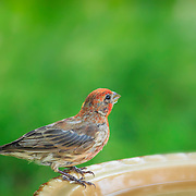 House finch male with orange-red feathers,  perching at birdbath with water droplet on beak.