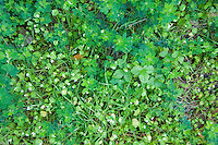 Little flowers grow on Pine Ridge Trail, Big Sur, California.