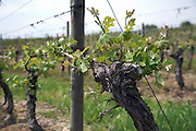 sprouting vine trunk during spring time in the Languedoc France