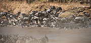 A large herd of wildebeests crossing Mara River (Kenya) during the annual great migration.