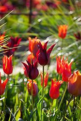 Tulips in the cutting garden. Tulipa 'Ballerina', 'Sarah Raven', 'Arjuna' and 'Request'