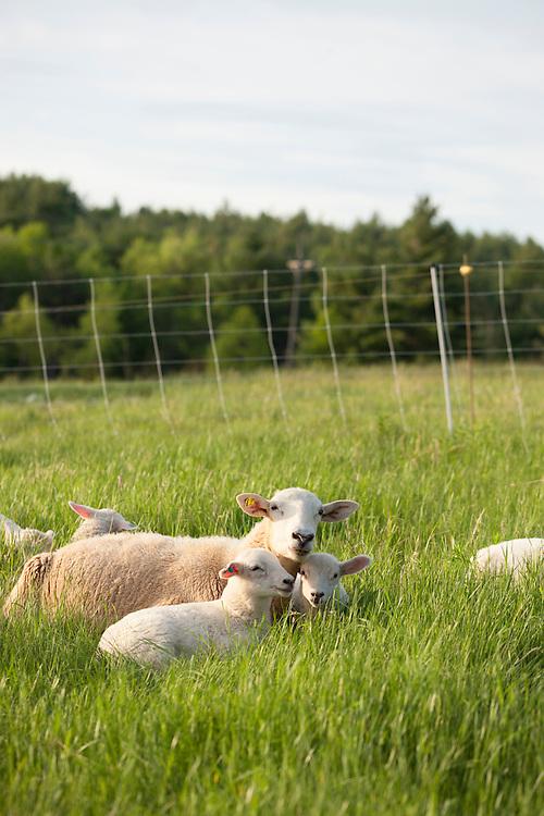 Ewe and her lambs