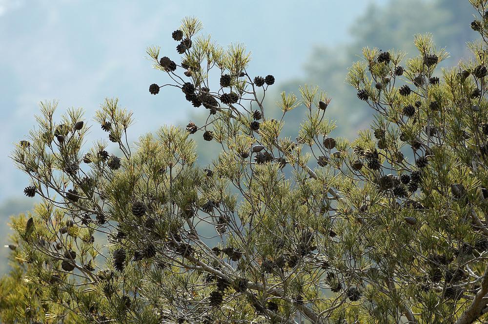 Cones on a European Black Pine (Pinus Nigra), Troodos mountains, Cyprus