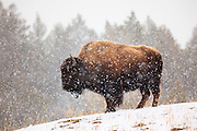 Snow falls as a Bison looks toward the Lamar Valley, Yellowstone National Park.