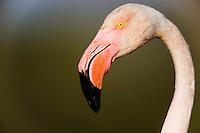 Greater Flamingo (Phoenicopterus roseus) in lagoon, close-up of head, Pont Du Gau, Camargue, France