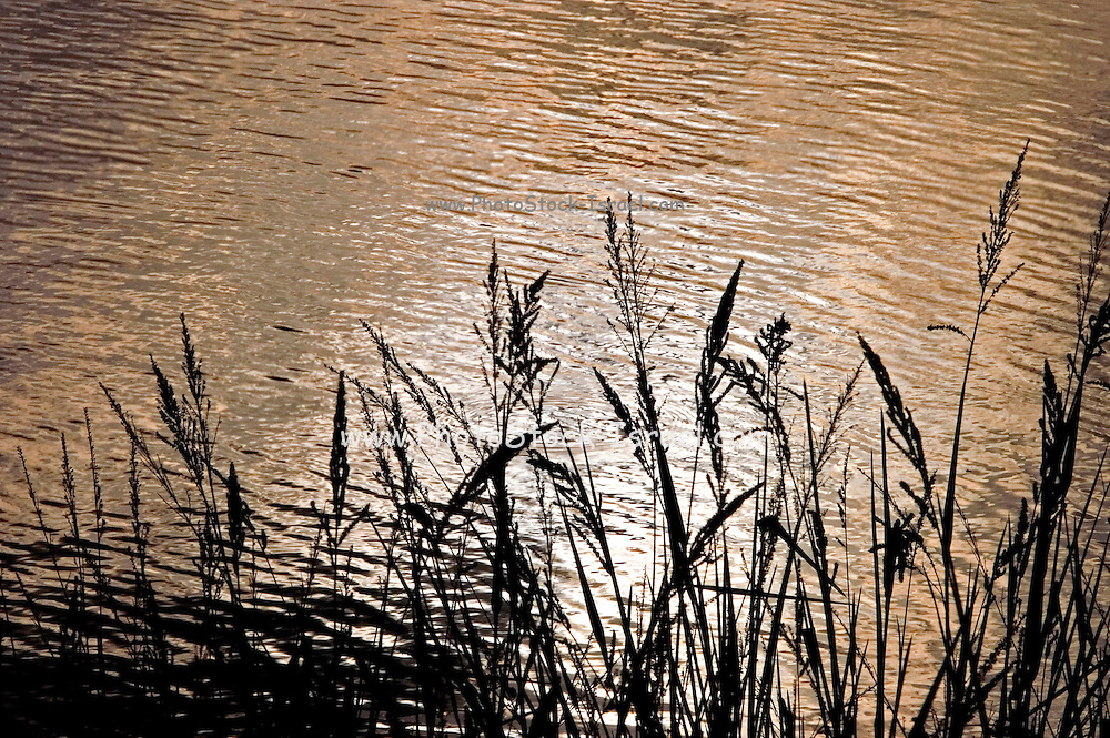 fish breeding pool, Israel, reeds in the foreground