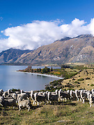 Scenes of New Zealand's iconic agricultural sector, alongside Lake Wakatipu, Otago, New Zealand.