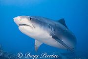 tiger shark, Galeocerdo cuvier, Honokohau, Kona, Big Island, Hawaii, USA ( Central Pacific Ocean )