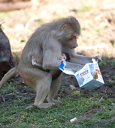 Mother baboon Maya tears open a box containing a chunk of pineapple as she forages for food, and her one-month-old baby, whom zookeepers have named Akila, clings to her chest, in the Hamadryas baboon exhibit at the Oakland Zoo, Wednesday, Dec. 23, 2015, in Oakland, Calif. Akila was born Nov. 15, and is the third for ten-year-old Maya and Martijn, the 14-year-old troop leader. (D. Ross Cameron/Bay Area News Group)