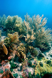 sea plumes, Pseudopterogorgia sp., sea .fans, Gorgonia sp. and sea rods, Molasses .Reef, Key Largo, Florida Keys National .Marine Sanctuary, Florida (Atlantic)