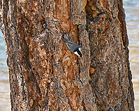 White-breasted Nuthatch (Sitta carolinensis). Lily Lake. Rocky Mountain National Park, Colorado. Image taken with a Nikon D2xs camera and 105 mm f/2.8 macro VR lens.
