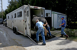 At Gulfstream racetrack, Jerry Bennett loads up Pinky, a Florida bred filly that has won 7 races in her short career. Bennett had already taken 30 of his horses to Ocala and was loading another 10 for the journey before Hurricane Irma. (Photo by Mike Stocker/Sun Sentinel/TNS/Sipa USA)<br />
