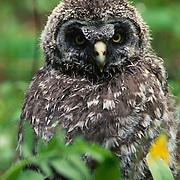 Great gray owl fledging among grasses near nest in Montana.