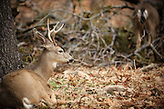 A buck looks out into the forest in Yosemite National Park.