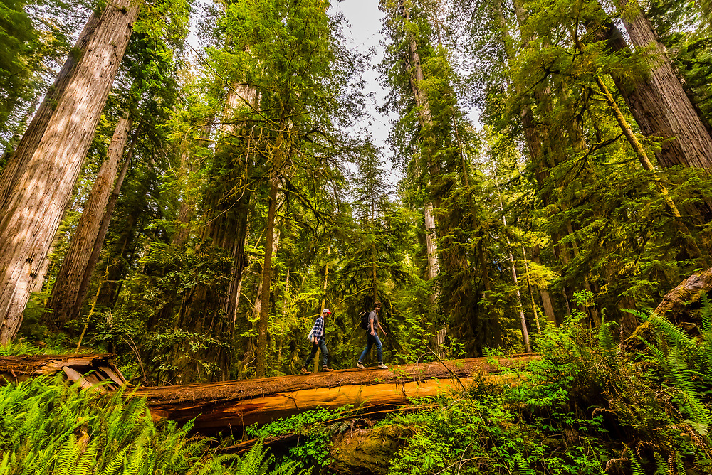 Hiking through a massive redwood forest on Boy Scout Trail, in Jedediah Smith Redwoods State Park, part of Redwood National and State Parks, northern California USA.