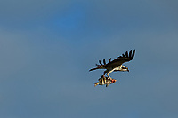 Osprey in flight with a fish. Fort De Soto Park in Pinellas County, Florida. Image taken with a Nikon D700 camera and 300 mm f/2.8 telephoto lens with a TC-E 20 teleconverter (ISO 200, 600 mm, f/8, 1/1000 sec).