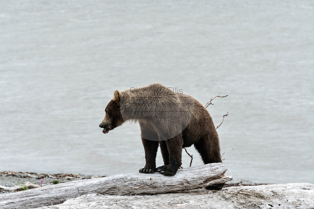 A brown bear sub-adult cracks a selfish found next to driftwood logs for insects along the beach at the McNeil River State Game Sanctuary on the Kenai Peninsula, Alaska. The remote site is accessed only with a special permit and is the world's largest seasonal population of brown bears in their natural environment.