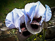 Nazareth Iris (Iris bismarckiana) Photographed at Mount Gilboa Israel in March