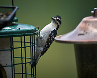Downy Woodpecker. Image taken with a Nikon D5 camera and 600 mm f/4 VR lens
