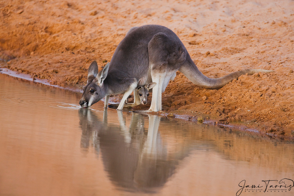 A female red kangaroo (Macropus rufus)  is reflected as she drinks from a water hole at dusk with a joey sticking it's head out from her pouch,  Sturt Stony Desert,  Australia