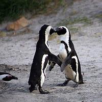 Africa, South Africa, Simons Town, Boulders Beach. African Penguin couple shares a kiss at Boulders Beach near Simons Town on False Bay.