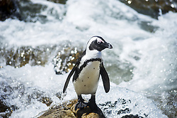 March 6, 2015 - Western Cape, South Africa - African Penguin (Spheniscidae) By The Water; Betty's Bay, South Africa (Credit Image: © Remsberg Inc/Design Pics via ZUMA Wire)