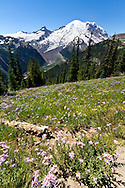 Mount Rainier towers above the White River Valley in late Summer from the vantage point of the Sunrise Rim Trail.  Foreground flowers are Alpine Aster (Aster alpigenus).