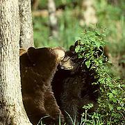 Black Bear, (Ursus americanus) Minnesota, yearling cub nuzzles cinnamon sow in forest.Spring.