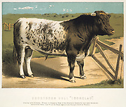 Shorthorn Bull 'Ironclad' bred by Lord Polworth. Print published London 1875. Oleograph.