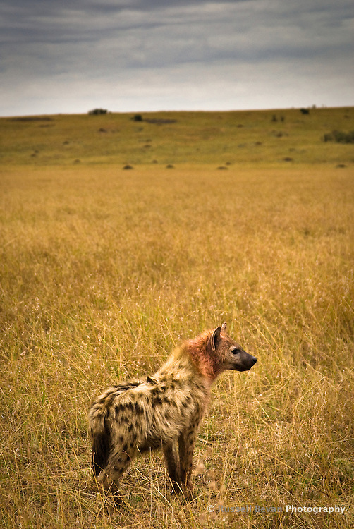 A spotted hyena with bloody fur at dawn in the Masai Mara National Park, Kenya
