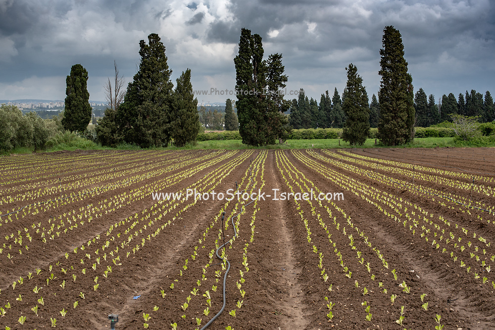 plants grow in an Agricultural field. Photographed in Israel in spring, April