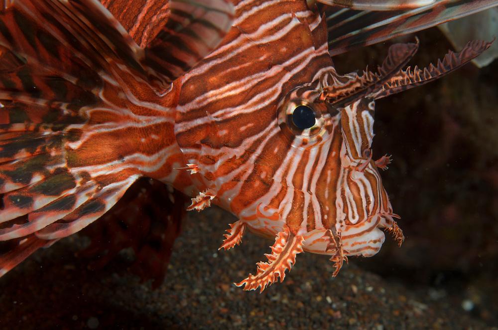 Kermadec, Kermadec Islands, Rangitāhua, New Zealand, remote, diving, rare, nz, Dendrochirus, Lionfish