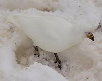 Snowy Sheathbill (Chionis albus). Half Moon Island. Image taken with a Leica T camera and 18-56 mm lens.