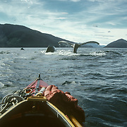 I always felt completely safe in my kayak with the whales. If anyone ever asked me if I was afraid to get as close to the whales as I did, the answer was always a resounding yes because I always trusted them not to be aggressive towards me because I always tried to ensure that I posed no threat towards them. I often stayed with a pod for an entire day from morning to night and they would often surface alongside me and accompany me as if I was one of them. I became a familiar and unthreatening shape and presence to them, with no potentially deadly slashing propeller to concern them; I was virtually no different from other marine creatures like sea lions that often accompany them.