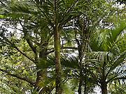 The Nikau Palm (Palmae Rhopalostylis), is New Zealand's only native palm. Nydia Track, South Island, New Zealand.