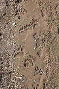 Grizzly bear tracks in sand along the shore of Yellowstone Lake